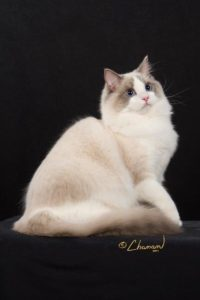 Breeder of Ragdoll Kitties