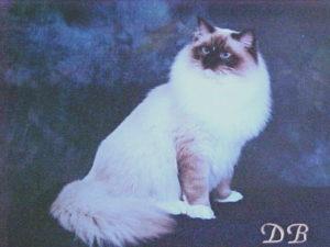 Breeder of Ragdoll Kitties